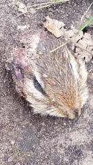 The face (& only the face) of a dead chipmunk in Bird's Hill Provincial Park (Rob Swystun) Tags: birds hill provincial park manitoba canada chipmunk dead face rodent eyes ears nose whiskers leaves dirt brown white black death