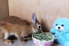 Ichigo san 296  (mensore) Tags: brown bunny cute family ichigo netherland dwarf netherlanddwarf pet rabbit