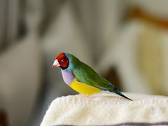 DSC_9234 (Jenny Yang) Tags:     lady gouldian finch pet bird