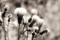 Sometimes different (nathaliedunaigre) Tags: flowers flower wildflowers fleurs fleurssauvages fleurdeschamps spia monochrome bokeh macro proxy profondeurdechamp