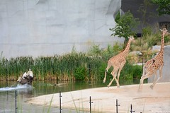 Course girafes ! (Johanna Viala) Tags: girafe autruche pzp parczoologiquedeparis zoodevincennes animaux