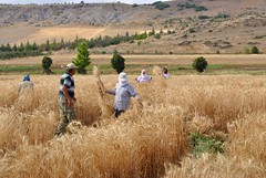 plot sampling (Ian Riley [on the right side of the fence]) Tags: asia turkey eskiehir research station harvesting sampling experimental plots wheat cereal