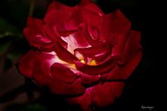 Nuit rose (kiareimages1) Tags: flowers fleurs fiori flores rose roses colori colors couleurs images immagini imagery fondnoir fotografiaartistica macro macrophotographie macroflowers macrophoto