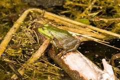 7K8A3904 (rpealit) Tags: scenery wildlife nature east hatchery alumni field hackettstown bullfrog