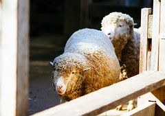 Sheep (VirtualWolf) Tags: animal australia bokeh canonef135mmf2lusm canoneos7d domesticated equipment mosman newsouthwales places sheep sydney tarongazoo techniques