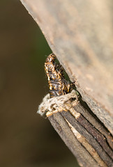 Rising slowly - Bagworm Moth (eneron9) Tags: moth insect animal wild stick cocoon environment nature outdoor wildlife natural warm focus macro close tiny india nikon d5200 photography life bokeh arthropod background shallow earth beauty colour color colourful
