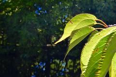 Backlit leaves (timnutt) Tags: castle victoria vancouverisland colwood leaves backlit leaf spike forest tree garden gardens