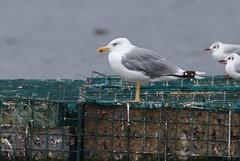 Yellow Legged Gull (cooky1959) Tags: yellowleggedgull gulls farmoorres oxfordshire mediterranean