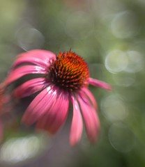 (theresa.brown1976) Tags: wonderful stunning purple pink pretty outside outdoors nature lovely green flowers coneflower flower elegant delicate livingthings colorful colors bokeh earth beautifulearth beautiful beauty awesome life alive amazing