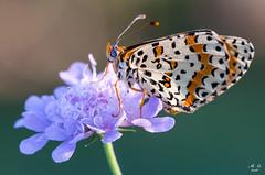 Melitaea in posa (mauro.cagna) Tags: ngc nikon sigma macro farfalle melitaea fiori estate serio mozzanica fiume
