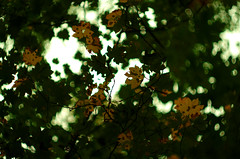 Autumn Maple Vine (Kristian Francke) Tags: vine maple helios 44k4 zenit pentax trees plants nature natural bc canada british columbia green yellow orange gold fall color colour