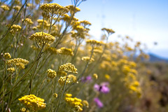 Elicriso (Roberto Spagnoli) Tags: fio flowers nature estate summer color helichrysum