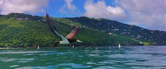 Flying by!! (Thanks for over 2 million views!!) Tags: appleiphone5c chadsparkesphotography bird stthomas magensbay magensbaystthomas easterncaribbeancruise easterncaribbean nature water disneycruise caribbean wildlife brownbooby