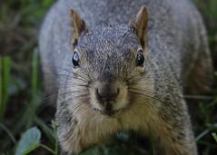 Squirrel, Morton Arboretum. 360 (EOS) (Mega-Magpie) Tags: canon eos 60d nature wildlife squirrel the morton arboretum lisle dupage il illinois usa america cute