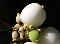 05-IMG_4595 (hemingwayfoto) Tags: august blhen blte busch frucht geisblatt giftig knallerbse schneebeere shakespeare strauch symphoricarpusalbus weis