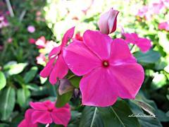 Vinca 023 (adioslunitaadios) Tags: vinca florrosa ptalos airelibre viverosalegre macro fujifilm