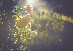 Sunday Dahlias (jm atkinson) Tags: super slider sunday dahlia morning dew maine garden