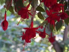 fuchsia rules (kexi) Tags: fuchsia flowers red bokeh macro gniazdowo poland polska green samsung wb690 july 2015 instantfave