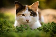 * (monorail_kz) Tags: helios442 vignette depthoffield vintagelens kitten grass animal september sunny