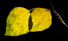 Aspen Leaves Changing (photographyguy) Tags: colorado aspens leaves fall autumn nature yellow