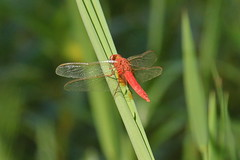Dragonfly sp (Baractus) Tags: dragonfly skimmer the gambia john oates sunbird tours