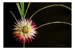 Flowered hat (Krasne oci) Tags: dahlia flower flowerart beautifulflowers photographicart artphotography macrophotography evabartos onblack flickr canon5dmarkiii