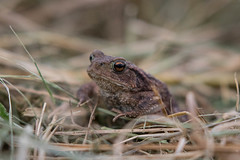toad (colin 1957) Tags: amphibian toad