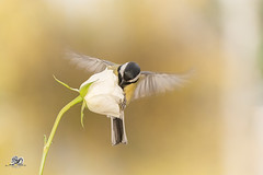 white flight (Geert Weggen) Tags: nature animal perennial closeup cute plant funny happy summer ground bright light branch yellow bird tit titmouse flower white rose stem wing fly sweden geert weggen jmtland ragunda