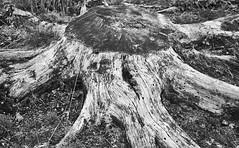 The remains of a tree [BW] (Modesto Vega) Tags: tree treetrunk treetrunkdetail blackwhite monochrome nikon d600 iso800 treestump stump