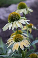 photos-11.jpg (tayaquain) Tags: flower yellowflower sanangelotexas tayaquainsanangelo texas