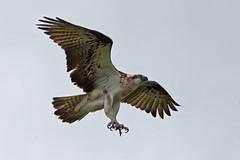 I need my nails done soon. (audiodam) Tags: osprey australianbirds