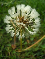 White Dendelion (V.Seenky) Tags: white flower green nature grass rain fog dew dendelion