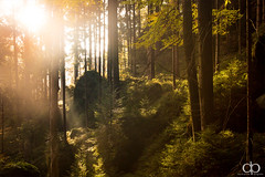 Golden October (David Pinzer) Tags: wood autumn light sun sunlight fall nature beauty pine forest gold golden nationalpark october scenery ray calm beam recreation