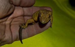 Male Crested Gecko. (CWhatPhotos) Tags: pictures pet animal canon that photography sand foto view image artistic pics wildlife sandy picture pic olympus images lizard have photographs photograph fotos gecko coloured which crested contain cwhatphotos epl3