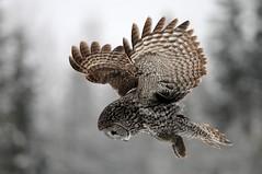 Great Gray Owl Hunting DSC_5945 (Ron Kube Photography) Tags: canada bird nature birds fauna nikon alberta owl greatgrayowl ornithology owls greatgray strixnebulosa southernalberta specanimal d300s globalbirdtrekkers ronaldok nikond300s ronkubephotography