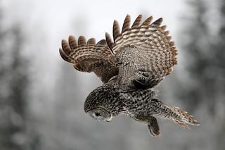 Great Gray Owl Hunting DSC_5945