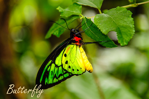 Butterfly by TanoyPhoto, on Flickr