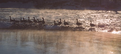 Steamed Goose (CParthe) Tags: mist canada cold calgary water river geese goose steam alberta canadagoose canadageese bowriver