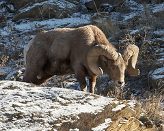 Light Comes to the Canyon (Tundra Winds Images by Donna) Tags: autumn colorado bighornsheep clearcreek bighornram oviscanadensis coloradowildlife bighornrut