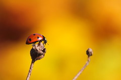autumn macro (*Chris van Dolleweerd*) Tags: autumn macro animal canon insect wildlife herfst sigma autumncolors 7d ladybug dier herfstkleuren lieveheersbeestje sigma105mm canon7d chrisvandolleweerd