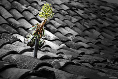 Aferrándose (domiJPG) Tags: planta tejado tejas verode