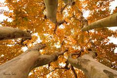 The Whispering Tree (Ramen Saha) Tags: autumn tree fallcolors sudan autumnleaves crepemyrtle crapemyrtle uduk ebonytree ramensaha lagerstroemiasp