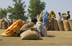 RICE CROP (S.M.Rafiq) Tags: pakistan woman rural work women rice working filled together crop activity sindh filed mane wome villagelife workingwoman smrafiq ricecrop filedworking