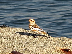 Snow Bunting in Salem (Mr. T in DC) Tags: bird birds ma massachusetts salem bunting buntings snowbunting plectrophenaxnivalis derbywharf snowbuntings