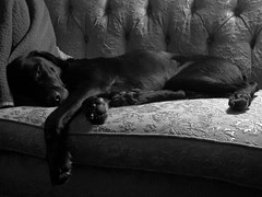 Helmut 2012#7_Copy (Single-Tooth Productions) Tags: bw pets composition canon blackwhite indianapolis indiana ps blackdog labmix blacklab helmut chiaroscuro pointshoot canonpowershot sleepingdog dogsleeping letsleepingdogslie blacklabmix dogonthecouch canonpowershotsd880is