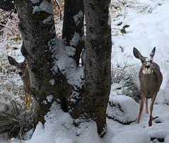 curious deer (Rennett Stowe) Tags: california snow cute funny watching siblings deer fawn yosemite caution yosemitenationalpark curious funnypics amusing fawns inquisitive cautious cutepics funnyanimals cuteanimal sillypics wilddeer watchingmewatchingyou twinanimals friendlydeer largeears snowonface amusinganimals animaljokes hidingbehindatree cutedeer curiousanimals funnydeer peekingaroundacorner cautiousanimals animalswithsnowontheirfaces lookingaroundacorner peeringfrombehindatree amusingdeer cuddlywildlife funnypicsflckr sillyanimalphotos sillyanimalphotographs curiouscautious
