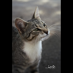 Cat on Chrysoskalitissa Monastery (Photofreaks) Tags: portrait cats beach cat portraits geotagged hellas kreta creta greece monastery crete greekislands griechenland krti ellda   hells ells hellenicrepublic chrysoskalitissa griechischeinseln   laradphotography wwwphotofreaksws ellnikdmokrata hellenischerepublik geo:lat=35311105 geo:lon=23533643
