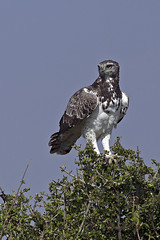 Martial Eagle (MAC's Wild Pixels) Tags: eagle kenya ngc raptor masaimara martialeagle goldwildlife naturesgreenpeace onlythebestofnature allofnatureswildlifelevel1 allofnatureswildlifelevel2 allofnatureswildlifelevel3 macswildpixels