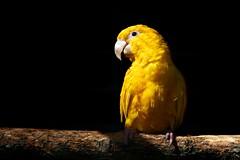 Yellow bird (m4mboo) Tags: highqualityanimals zoobeauvaloiseauanimaux