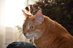 Bubbles DSC_0564 (Trish Sweett) Tags: orange pet cats cat nikon feline tabby domestic short orangetabby dsh  nikon hair domestic d7000 pet d7000